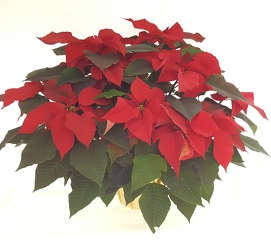 Large Red Poinsettia from Lagana Florist in Middletown, CT