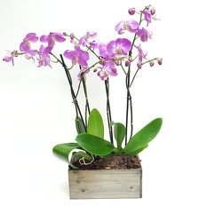 Orchid Duo from Lagana Florist in Middletown, CT