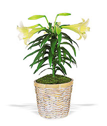 Easter Lily Plant from Lagana Florist in Middletown, CT